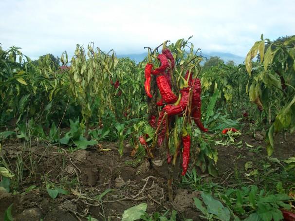 Una planta de pimiento