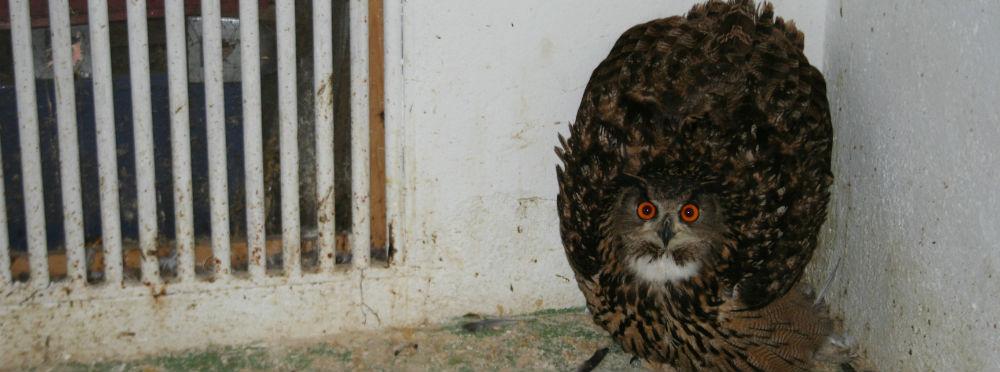Búho Real en el Centro de Recuperación de Fauna Salvaje de Guadalajara