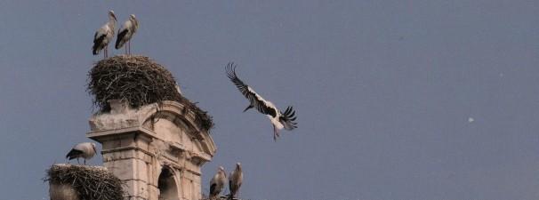 Cigüeñas sobrevolando la ciudad de Alcalá de Henares. Foto: Baldo