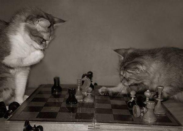Dos felinos juegan al ajedrez en La Gatoteca     Foto: La Gatoteca
