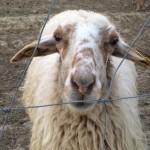 Una de las ovejas del rebaño de la Casa de Campo