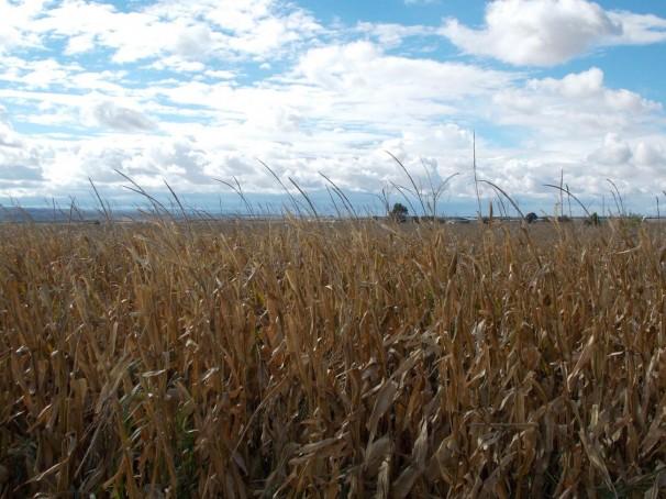 Vista de los maizales de El Salobral. Foto: F.D-I.